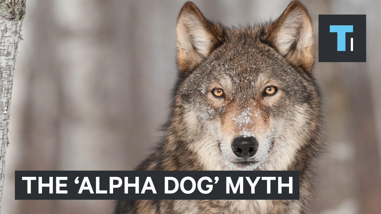 The 'alpha dog' myth is leading countless owners to mistreat their dogs
