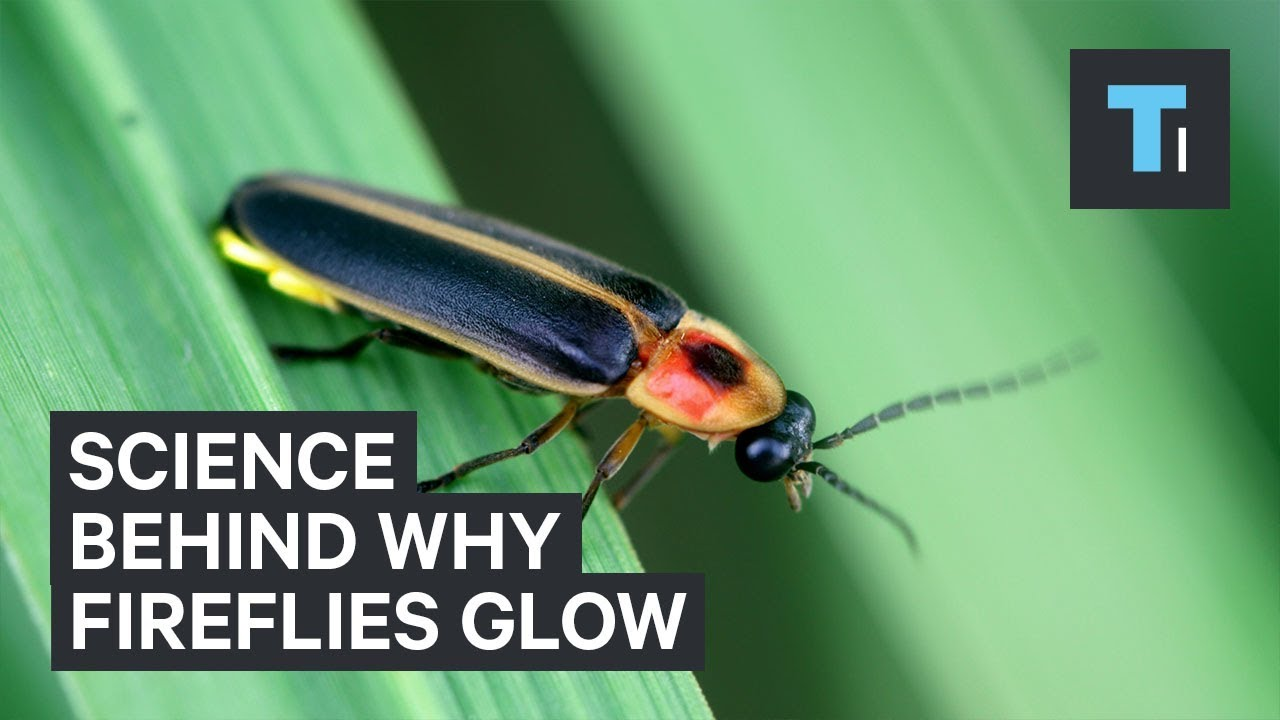 The science behind why fireflies glow