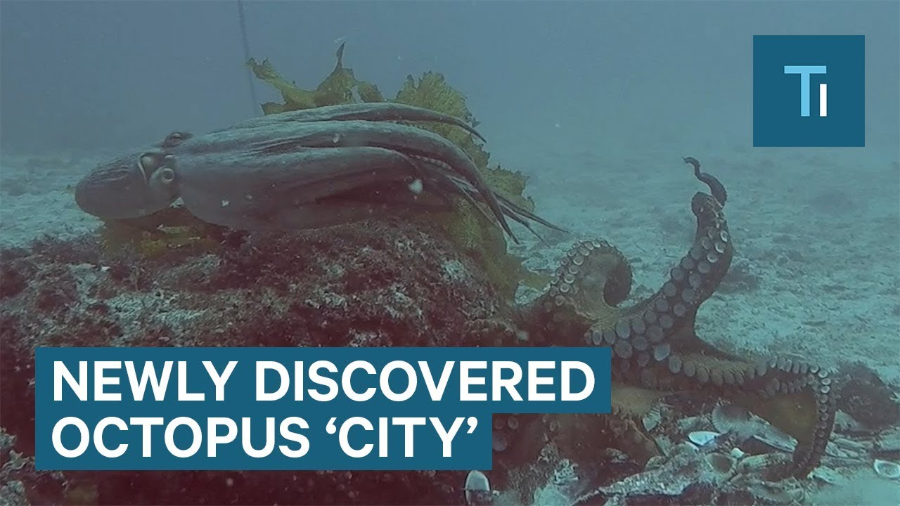 Scientists discovered a never-before-seen octopus 'city' — and they named it 'Octlantis'
