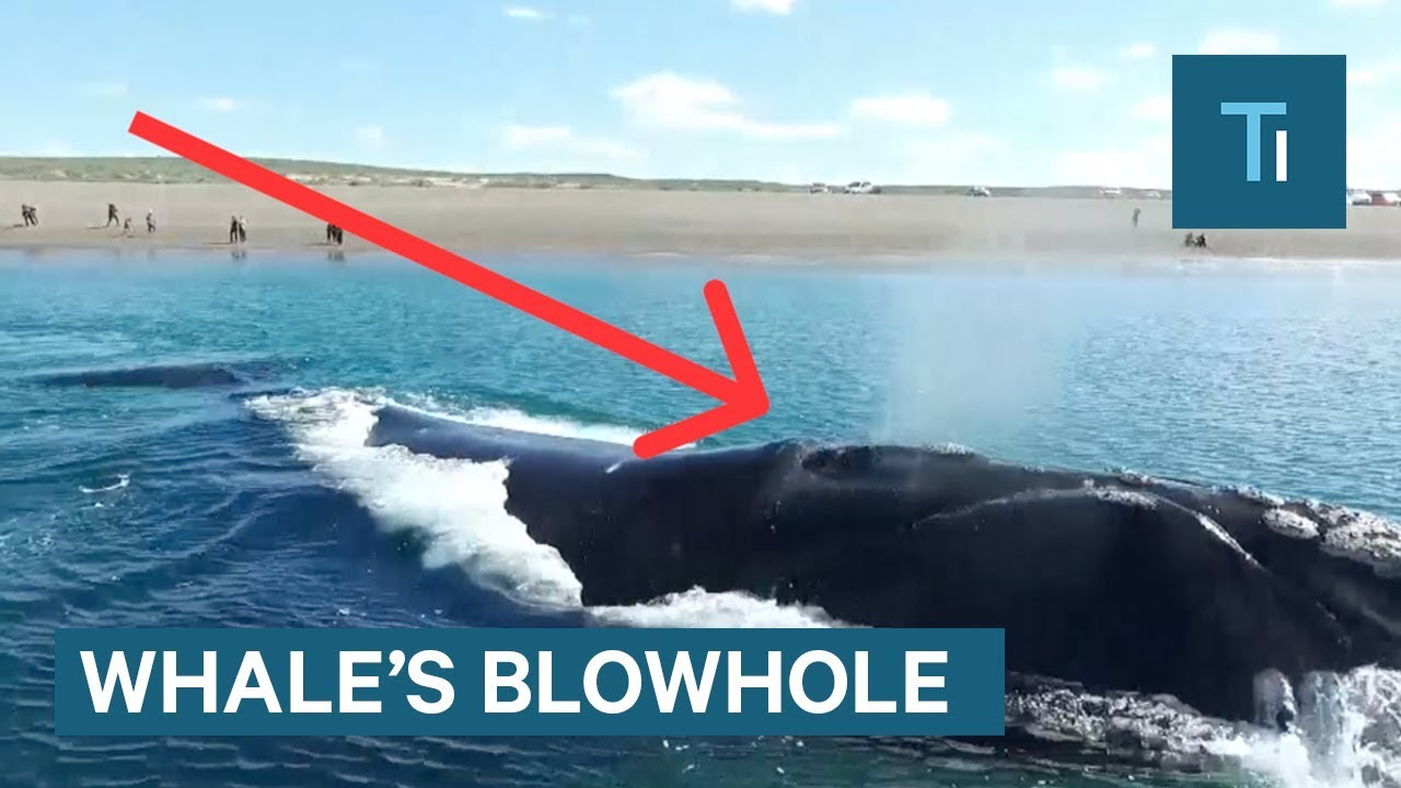 Here's what's actually inside a whale's blowhole
