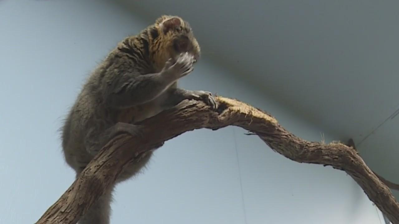 Animals Up Close: Mongoose Lemur