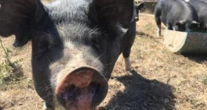 California Votes on More Space for Farm Animals ... Again