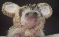 South Texas' most famous hedgehog Wilbur stealing the hearts of animal lovers all over