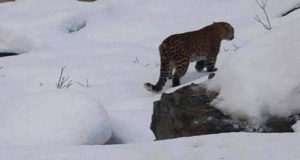 Snowfall: Wild animals descend on villages in search of food