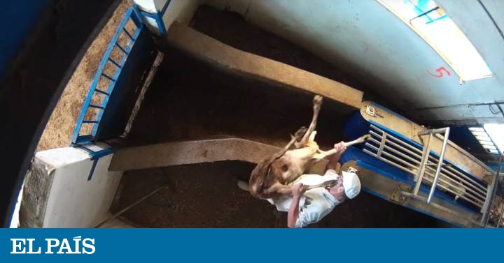 Meat production: Video: Activists expose shocking animal abuse at Madrid slaughterhouse | In English