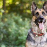 German Shepherd Genome Mapped | Technology Networks