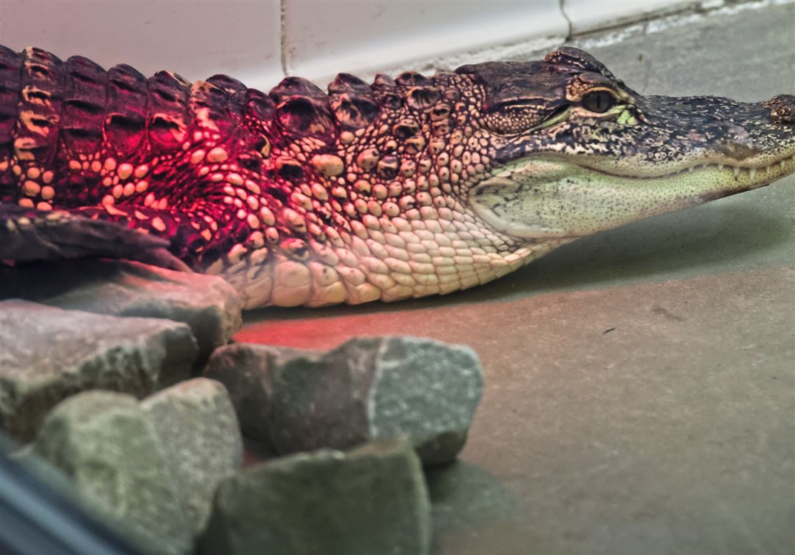 Beechview man whose gator escaped convicted of 16 neglect of animals charges